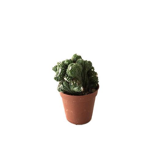 Cereus peruvianus 'Cristata'