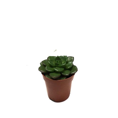 Echeveria affinus