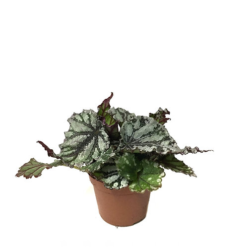 Begonia Rex 'Flamenco'