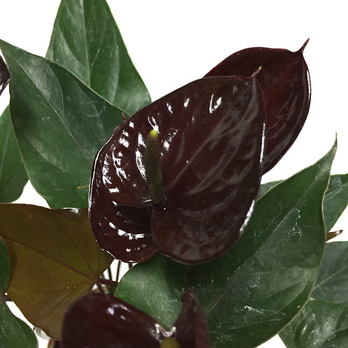 Anthurium Andreanum 'Black Love'
