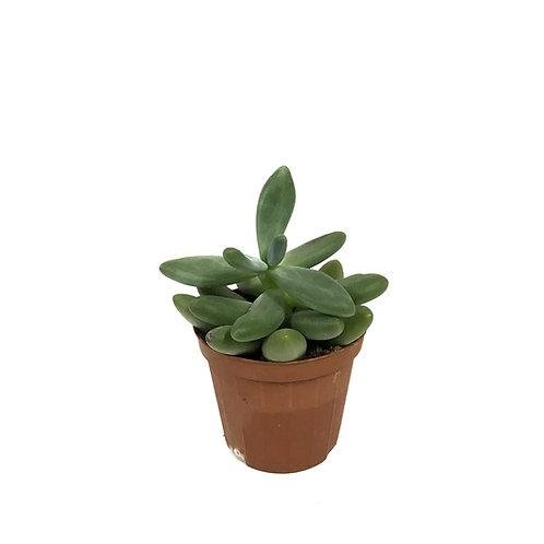 Pachyphytum fitkai