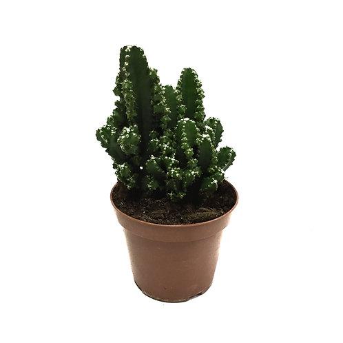 Cereus peruvianus 'Paolina'