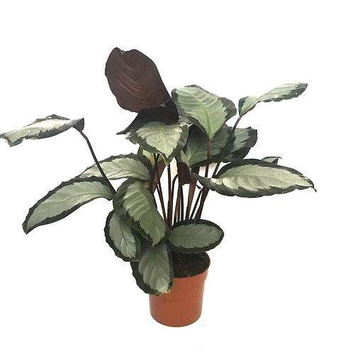 Calathea roseopicta 'Rosastar'