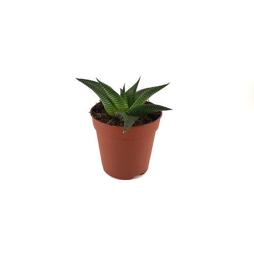 Haworthia Limifolia 'Twister'