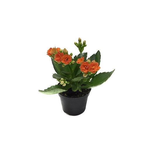 Kalanchoe calandiva 'Orange'