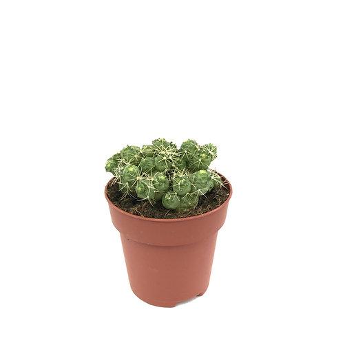 Mammillaria bocasana 'Fred'