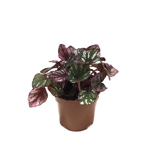Begonia Rex 'Rumba'
