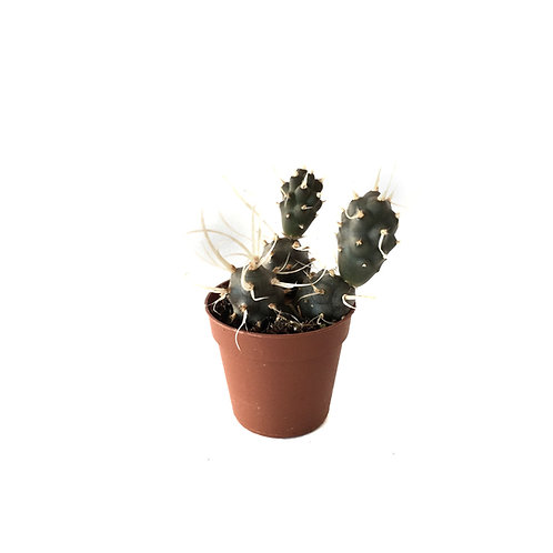 Tephrocactus Articulatus 'Papyracanthus'
