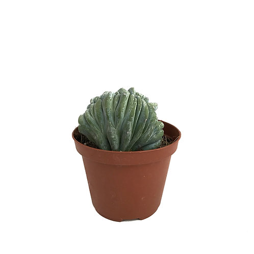 Myrtillocactus geometrizans 'Cristata'