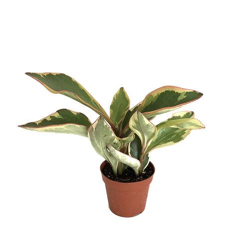 Peperomia Clusiifolia 'Jelly'