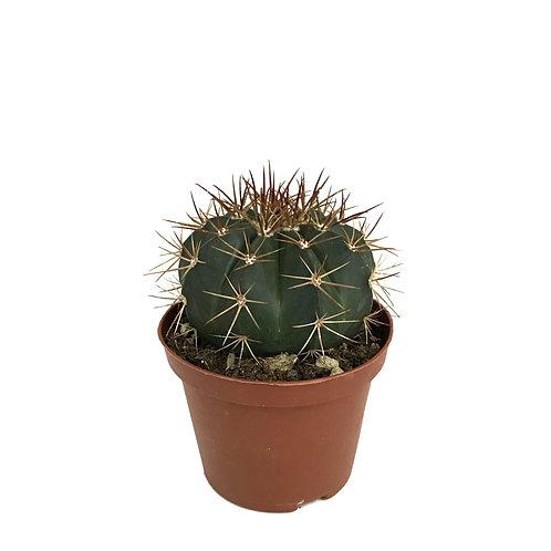 Melocactus guaricensis