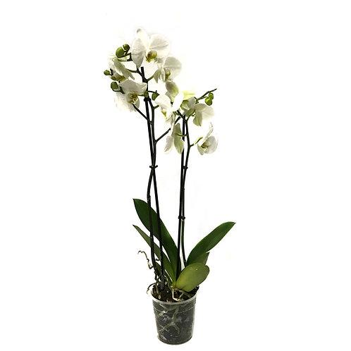 Phalaenopsis 'White'