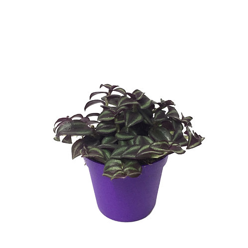 Tradescantia Zebrina 'Purple Joy'