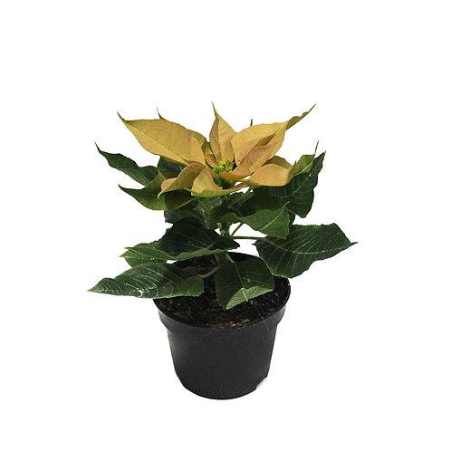 Euphorbia pulcherrima 'Yellow'