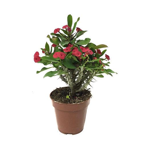 Euphorbia Milii 'Pink'
