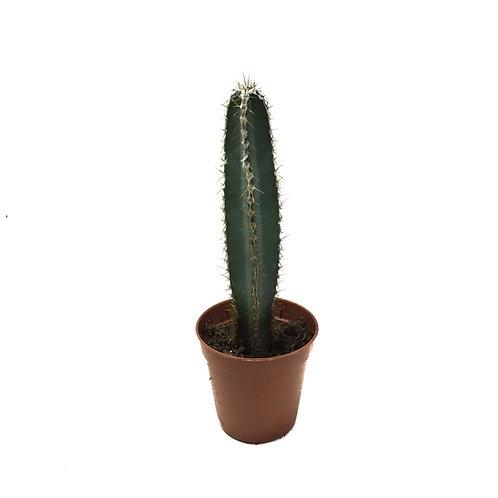 Cereus validus
