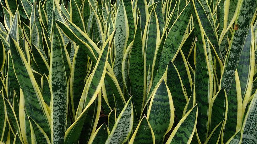 Snake_Plant_(Sansevieria_trifasciata_'La
