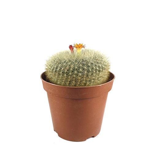 Notocactus rubibuenekeri