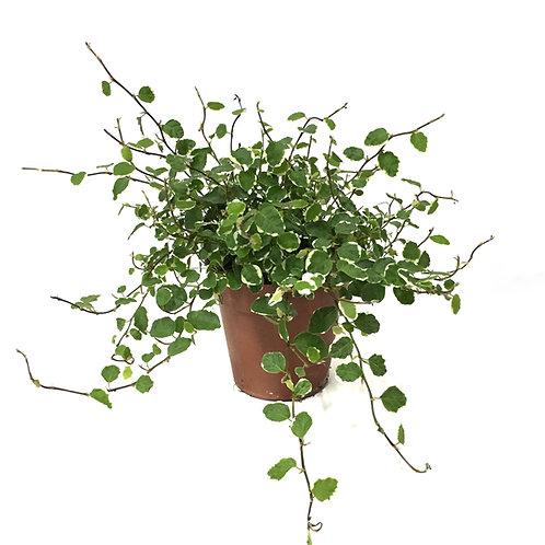 Ficus Pumila 'Variegata'