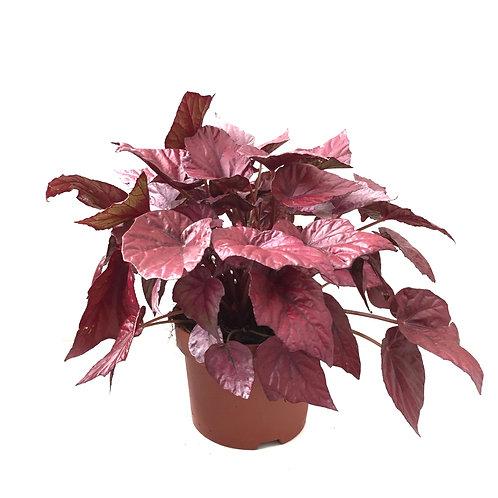 Begonia rex 'Inca Flame'