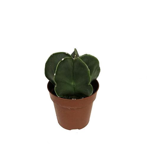 Astrophytum Myriostigma 'Nudim'
