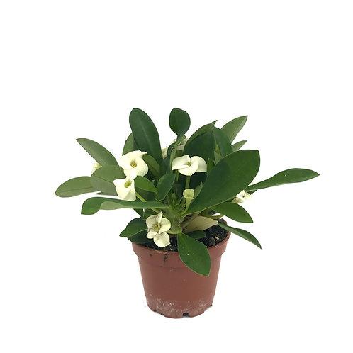 Euphorbia Milii 'White'