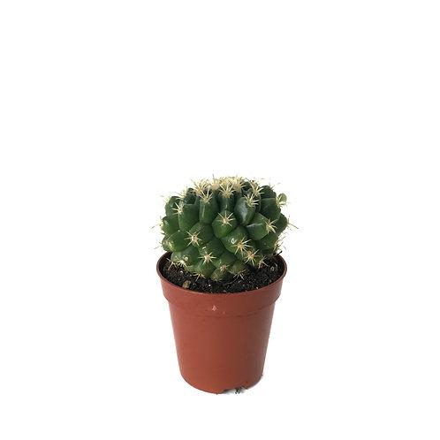Echinocactus Grusonii 'Intermedius'