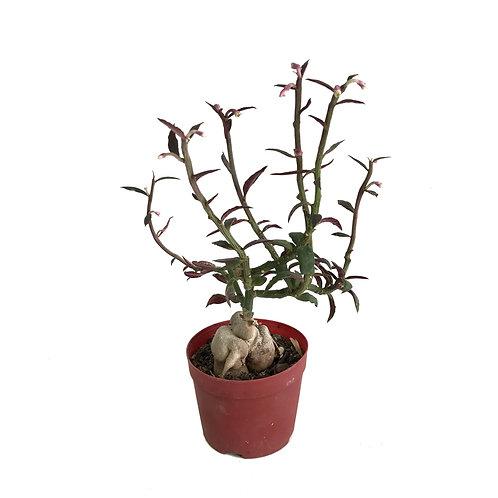 Monadenium montanum 'Rubellum'