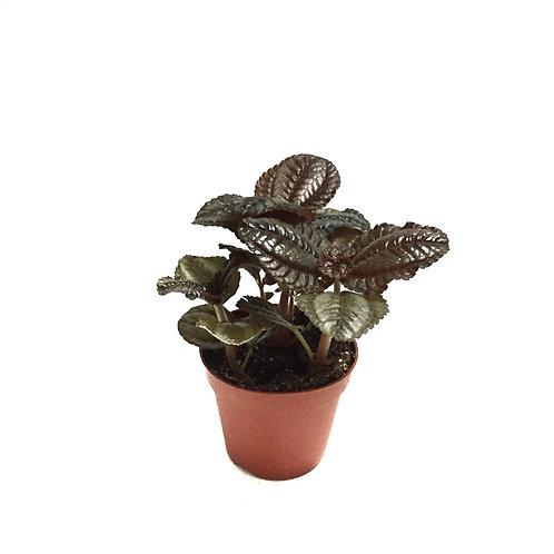 Pilea involucrata 'Friendship Plant'