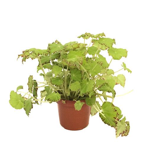 Begonia Rex 'Lima Love'