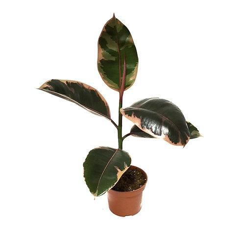 Ficus elastica 'Belize'