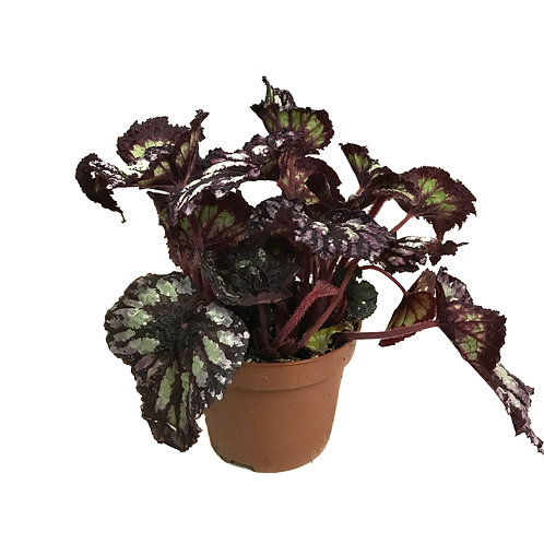 Begonia rex 'Yamileth'