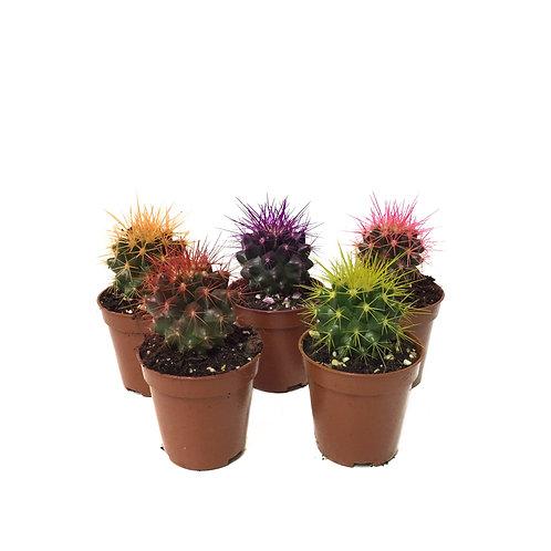 Echinocactus grusonii - 5 Renk