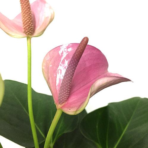 Anthurium andraeanum 'Pink'