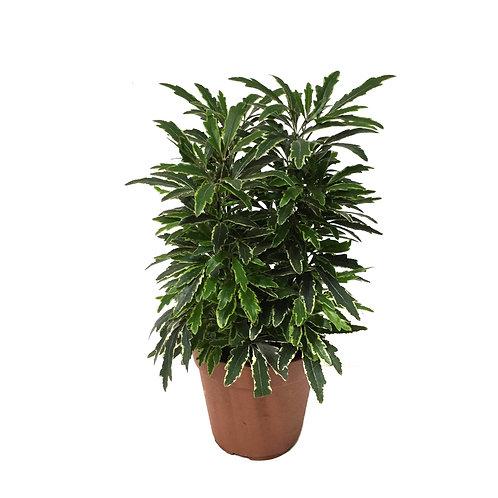 Dizygotheca Elegantissima 'Bianca'