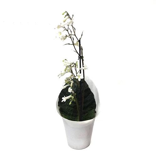 Streptocarpus 'White'