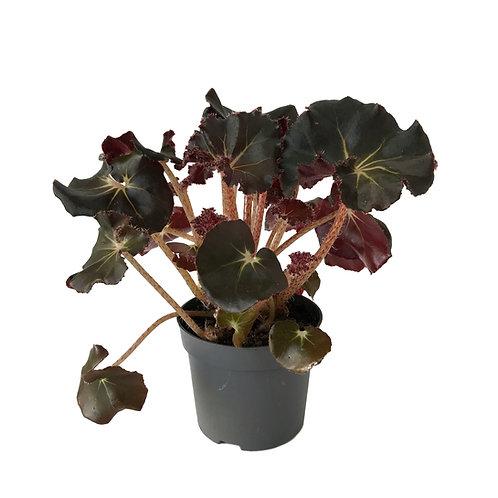 Begonia 'Black Jungle'