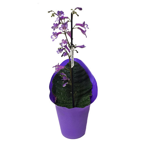 Streptocarpus 'Purple'