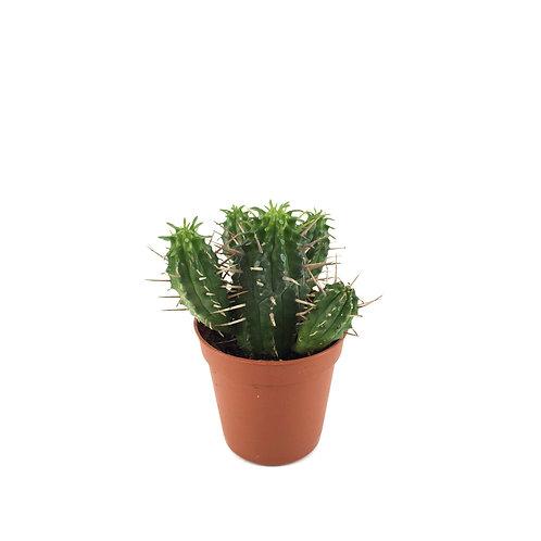 Euphorbia ferox 'Hybrid'