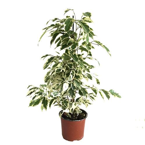 Ficus benjamina 'Starlight'