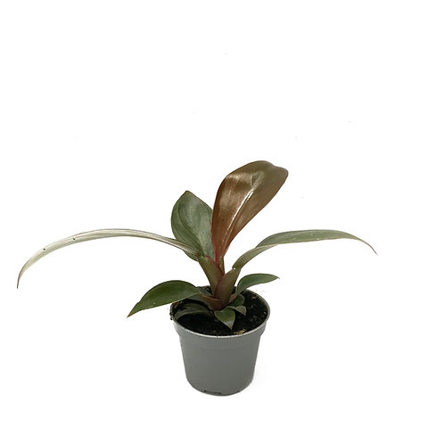 Philodendron imperial 'Red'