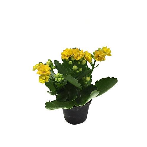 Kalanchoe calandiva 'Yellow'