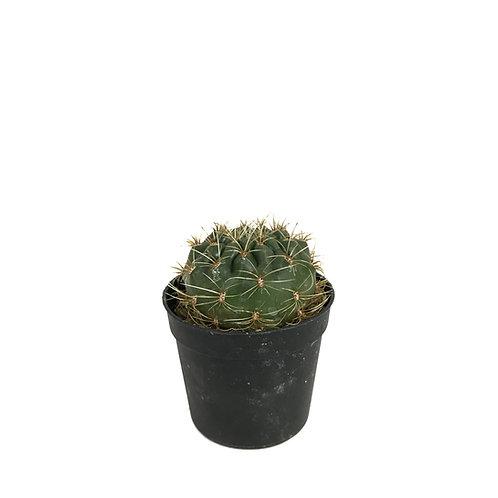 Matucana aureifolia