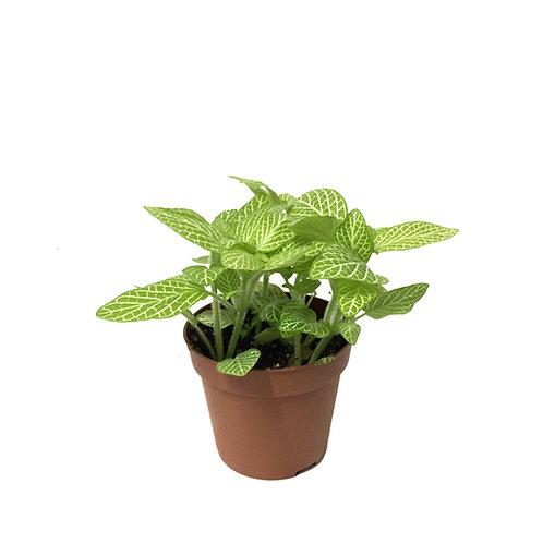 Fittonia - Yeşil Beyaz