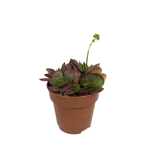 Crassula platyphylla 'Variegata'