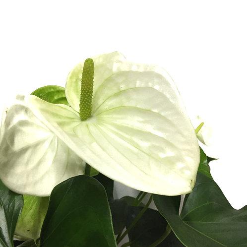 Anthurium andraeanum 'White'
