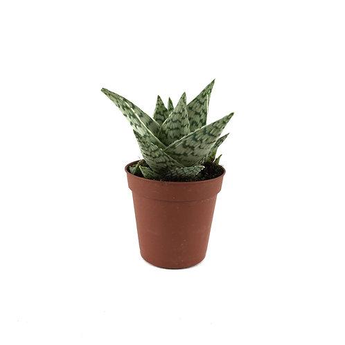 Aloe 'White Stag'