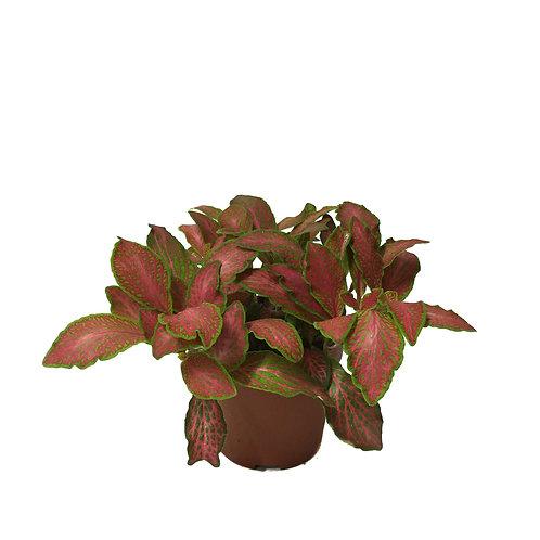 Fittonia - Kırmızı Yeşil