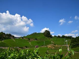 夏の緑茶は体温を下げてくれます