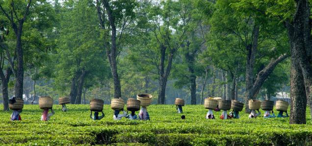 Why Is Tea Going Up In Price?